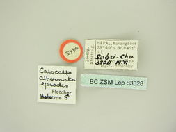 Image of <i>Hydria alternata epiodes</i>