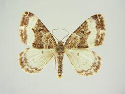 Image of <i>Euphyia unangulata carnica</i>