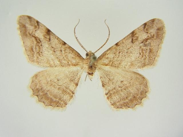 Image of <i>Alcis depravata turanica</i>