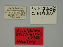 Image of <i>Archichlora scissimacula</i> Herbulot 2000