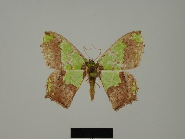 Image of <i>Agathia malgassa</i> Herbulot 1978