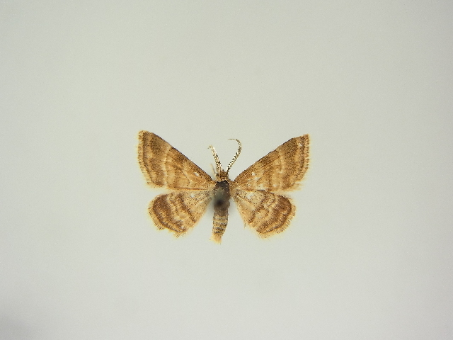 Image of <i>Emmiltis pygmaearia sirentina</i>