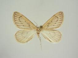 Image of <i>Myinodes interpunctaria atlantica</i> Hausmann 1994