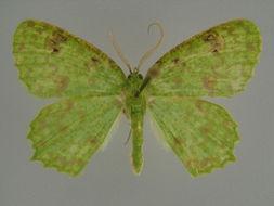 Image of <i>Helicopage brevipalpis</i>