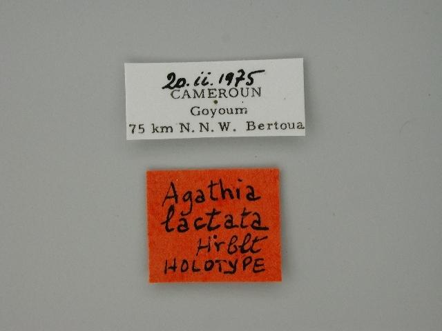 Image of <i>Agathia lactata</i> Herbulot 1977