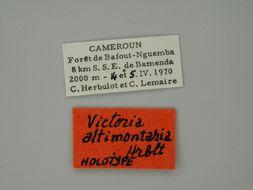 Image of <i>Victoria altimontaria</i> Herbulot 1971