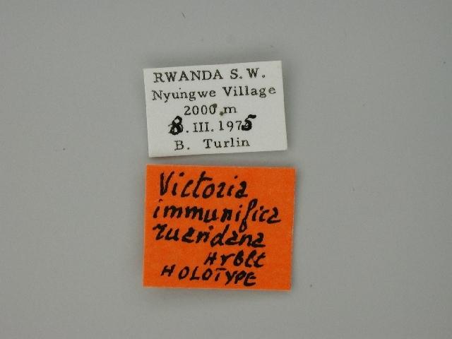 Image of <i>Victoria immunifica ruandana</i> Herbulot 1989