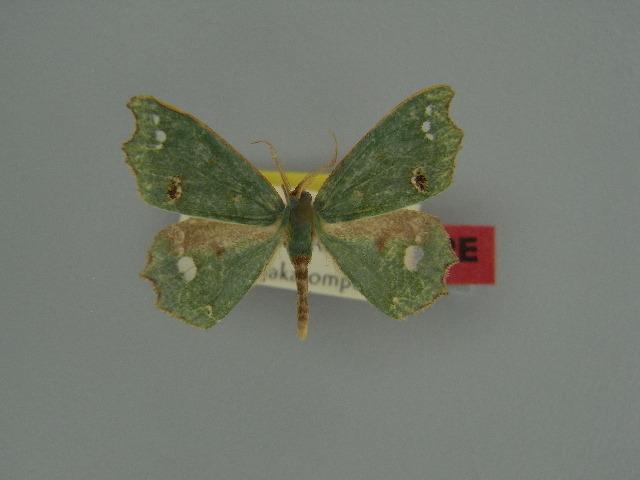 Image of <i>Archichlora alophias</i> Herbulot 1954