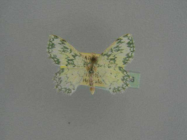 Image of <i>Archichlora petroselina</i> Herbulot 1960