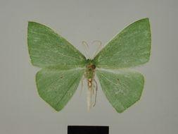 Image of <i>Adicocrita vinchata</i> Herbulot