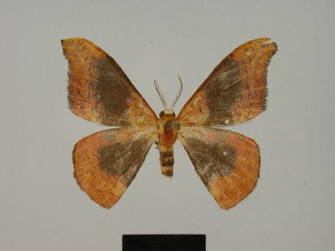 Image of <i>Hypocoela camillae</i> Herbulot 1996
