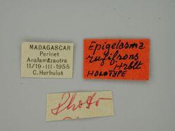 Image of <i>Epigelasma rufifrons</i> Herbulot 1972