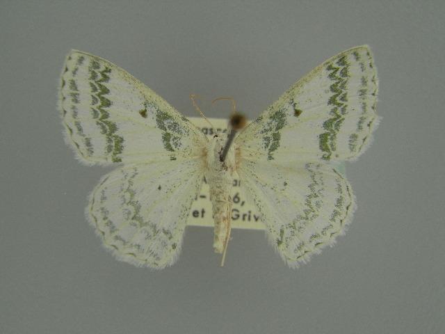 Image of <i>Epigelasma occidentalis</i> Herbulot 1972