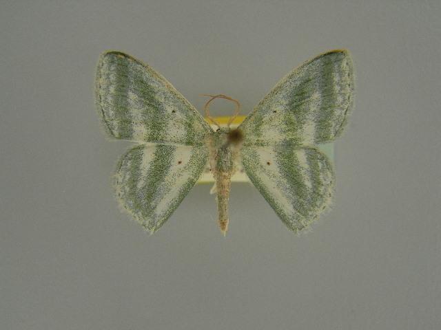 Image of <i>Epigelasma viridibasis</i> Herbulot 1972