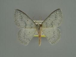 Image of <i>Epigelasma frigida</i> Herbulot 1972