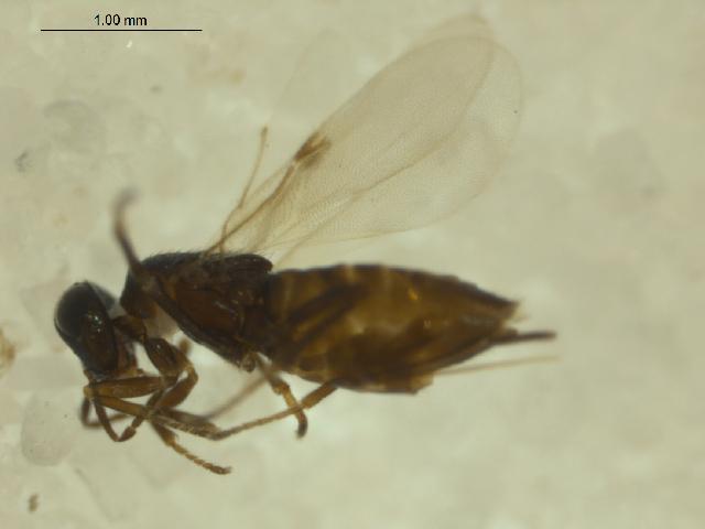 Image of Pseudencyrtus