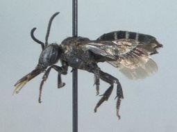 Image of <i>Triepeolus brittaini</i> Cockerell 1931