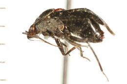 Image of <i>Deraeocoris fulgidus</i> (Van Duzee 1914)
