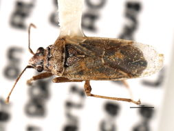 Image of <i>Xyonysius californicus</i> (Stal & C. 1859)