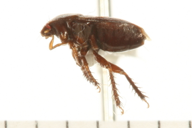 Image of <i>Chilocoris repetitus</i>