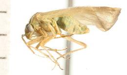 Image of <i>Megalocoleus molliculus</i> (Fallén 1807)