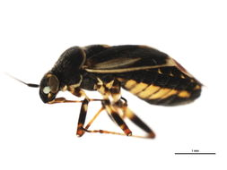 Image of <i>Polymerus cognatus</i> (Fieber 1858)