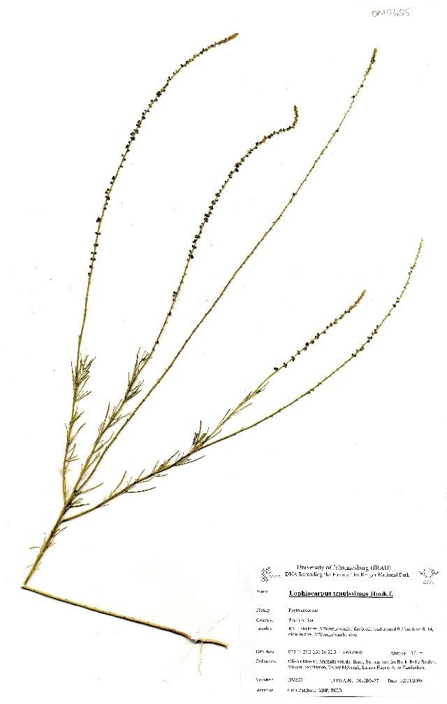 Image of Lophiocarpaceae