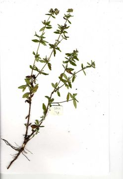 Image of Agathisanthemum