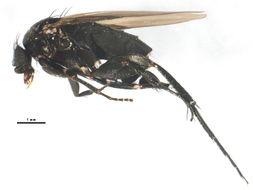 Image of <i>Hypocera ehrmanni</i> Aldrich 1904
