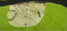 539.hela 18463 cd11018 antispila metalella larva merged 1377012504 jpg.260x190