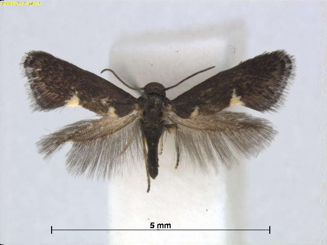 Image of <i>Heliozela eucarpa</i> Meyrick 1897