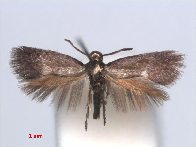 Image of Heliozela