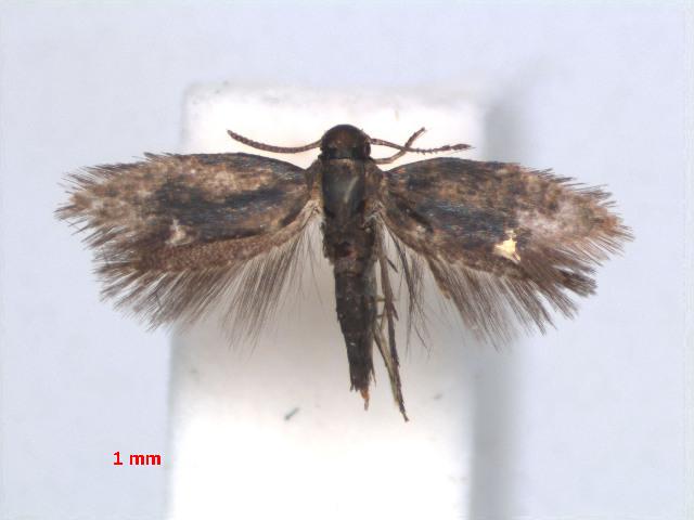 Image of Heliozela MelastomaKalimantan