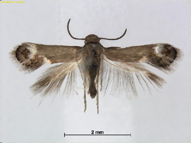 Image of Heliozela MelaleucaAusSA