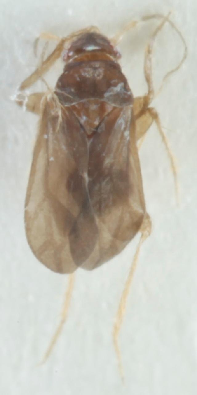 Image of Ceratocombinae