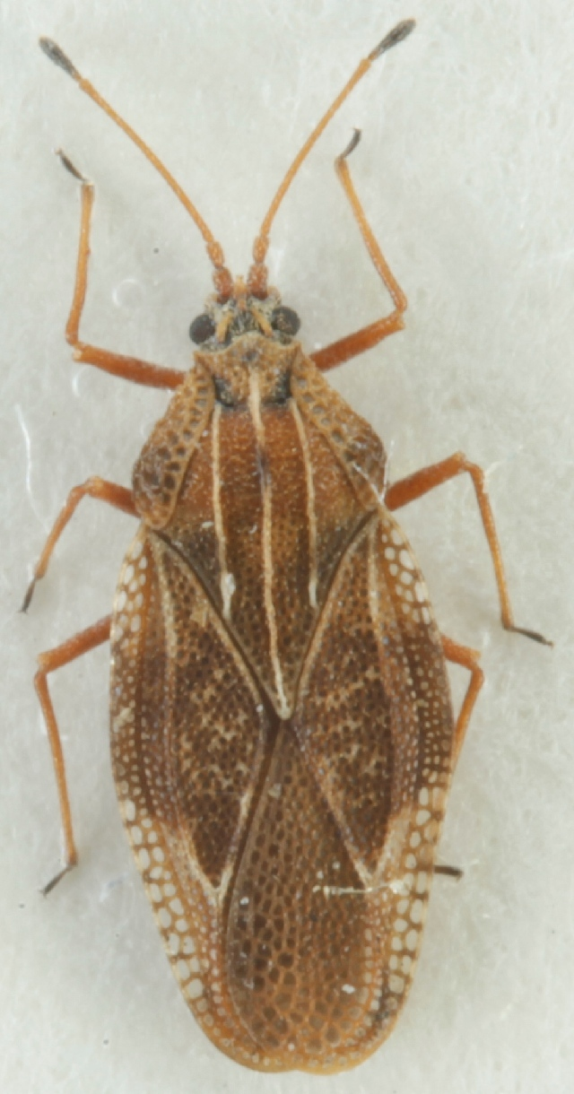 Image of Physatocheila