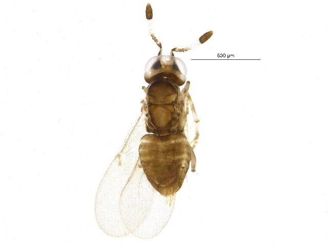 Image de <i>Metaphycus groenlandicus</i> Buhl 1997