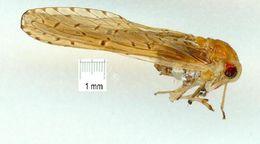 Image of Otiocerinae