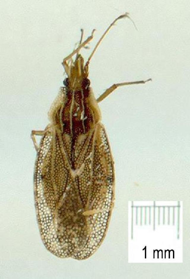 Image of <i>Cantacader abdivitus</i> Drake 1950