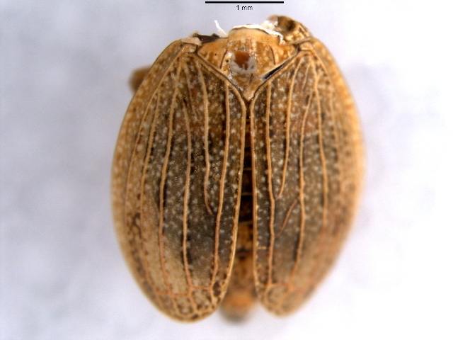 Image of dictyopharid planthoppers