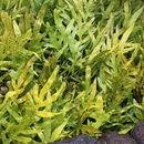 Image of <i>Microsorum scolopendria</i>