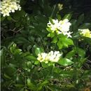 Image of mock orange