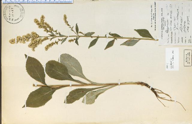 Image of Atlantic goldenrod