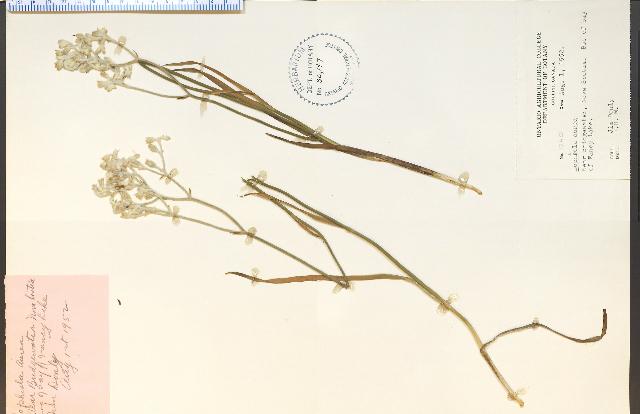 Image of goldencrest