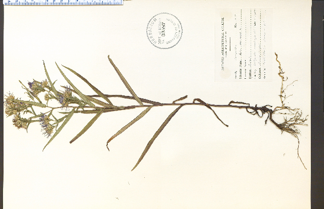 Image of New York aster