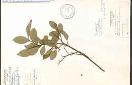 Image of Blue Ridge blueberry