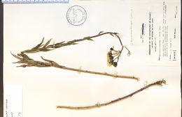 Image of New England hawkweed