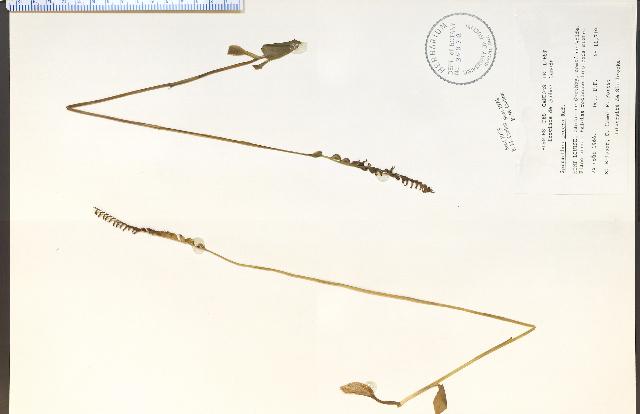 Image of Slender ladies'-tresses