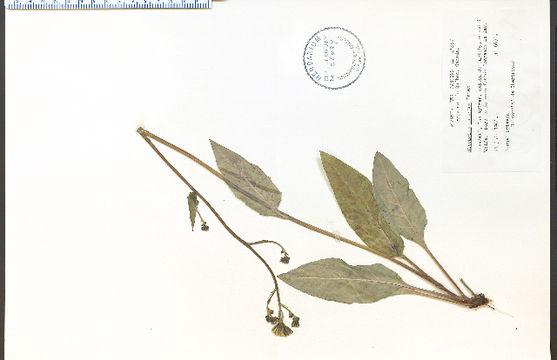 Image of <i>Hieracium vulgatiforme</i> Dahlst.