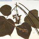Image of Chinese catalpa